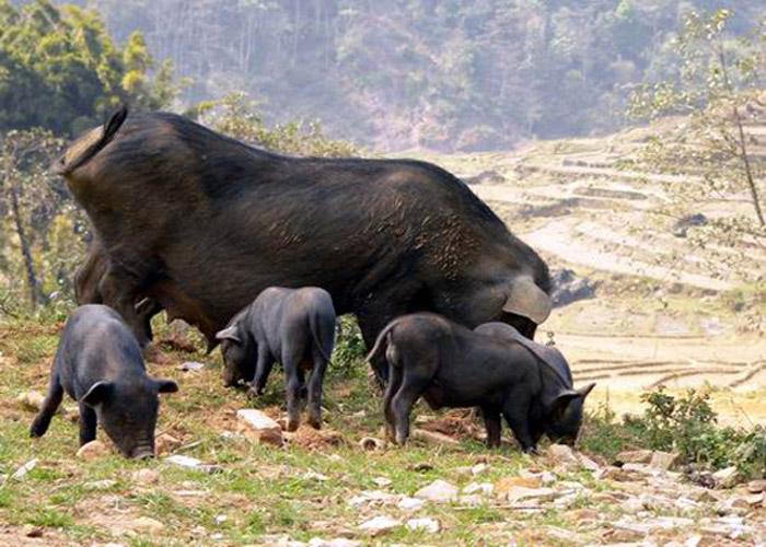 Lợn bản được nuôi trên đồi sau nhà sàn của người Mông tại Mù Căng Chải.