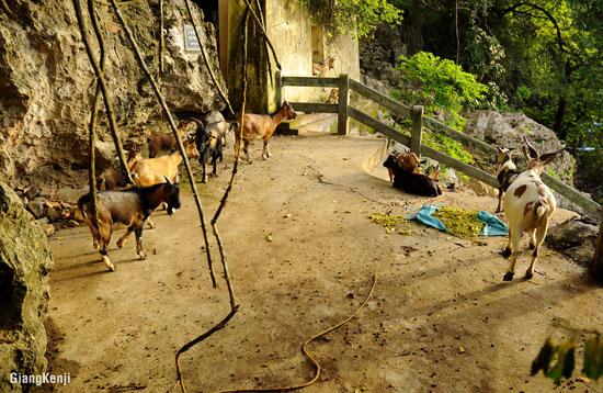 những đàn dê được chăn thả tự do