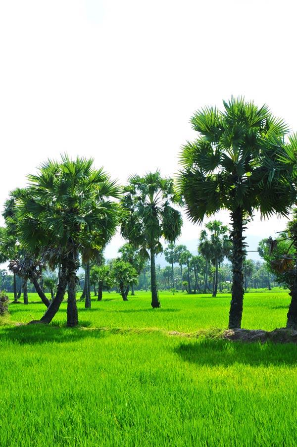 Phía dưới là cánh đồng Tà Pạ đầy màu sắc. Những thảm lúa xanh nằm dưới bóng những cây thốt nốt cao vút tạo ra một bức tranh đồng quê riêng biệt mà chỉ vùng đất nơi đây mới có