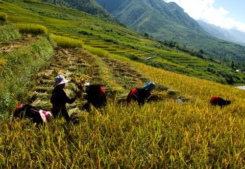 Ruộng trải dài từ trên đỉnh núi xuống chân thung lũng, là nguồn sống của đồng bào các dân tộc Mông, Thái, Dao... từ đời này qua đời kia.