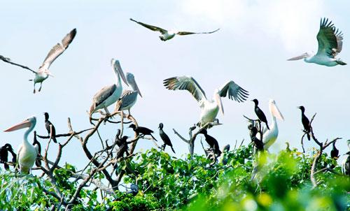 Chim bồ nông chân xám ở vườn chim Bạc Liêu
