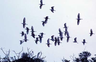 từng đàn chim bay về làm tổ