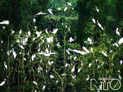 Cò về đậu trắng các ngọn cây – Ảnh nguồn nto.com.vn