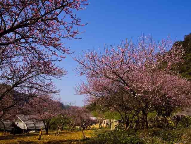 Vườn hoa đào Mộc Châu