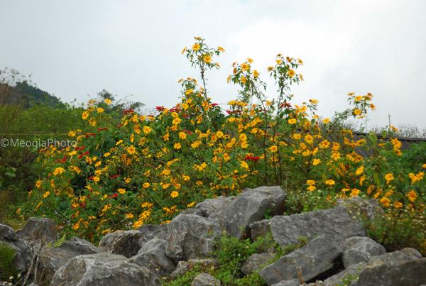 Hoa dã quỳ nở rực rỡ bên những tảng đá lớn