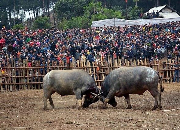 Lễ hội chọi trâu Sơn La