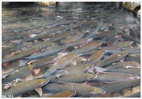 Nơi đây là vùng sinh sống của hàng ngàn con cá được người dân gọi là cá thần