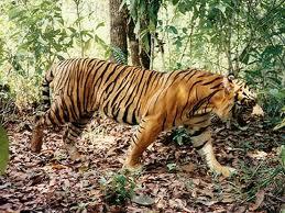 Thác Hang Cọp với tiểu sử xuất phát từ một loài thú dữ vốn là chúa tể rừng xanh