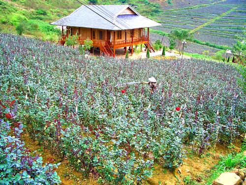 Thung lũng hoa hồng - điểm du lịch ở xa trung tâm sapa