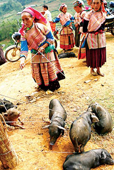 Dắt cả đàn heo con đi chợ bán, cảnh thường thấy tại các phiên chợ vùng cao Lào Cai