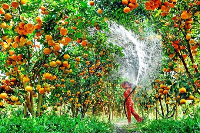 Trải nghiệm bạn nên thử: Thưởng thức trái cây miệt vườn Tiền Giang