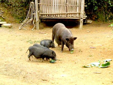 Thịt lợn đen