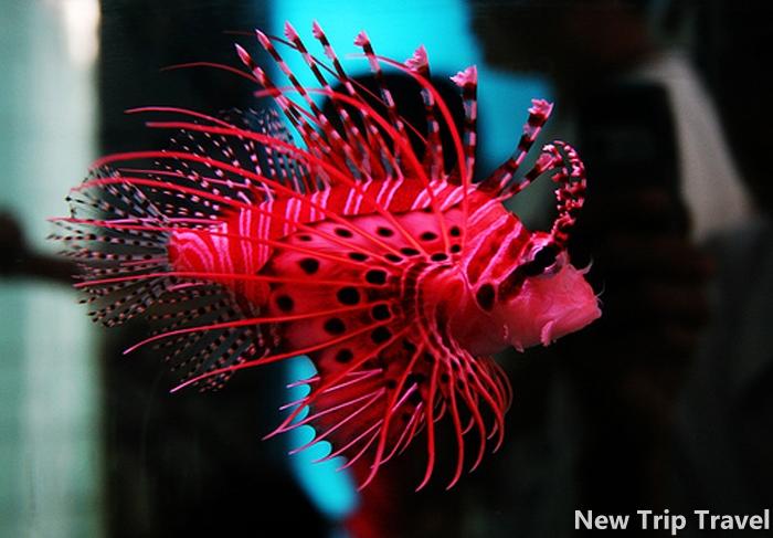 Cá mao tiên với màu sắc sặc sỡ