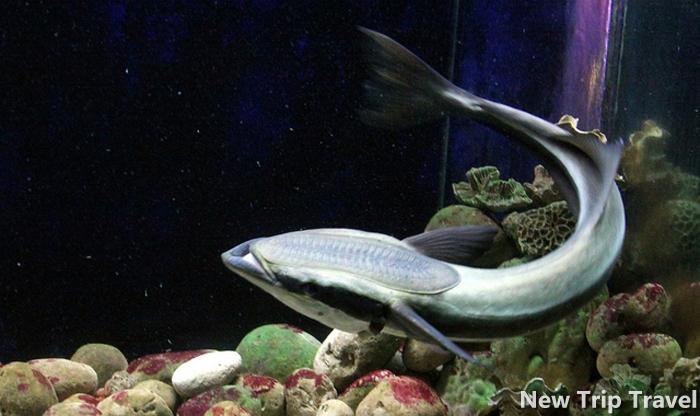 Vì cái giác hút trên đầu, trông giống như chiếc đế giầy nên gọi là cá đế giầy
