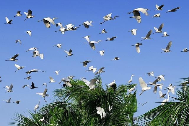 Vườn Cò Tân Long- nơi trú ngụ của hàng nghìn giống cò...