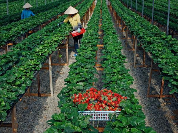 Người dân Bảo Lộc đi thu hoạch Dâu