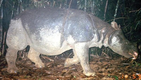 Cá thể tê giác Java chụp được bằng máy ảnh bẫy, hiện giờ đã tuyệt chủng