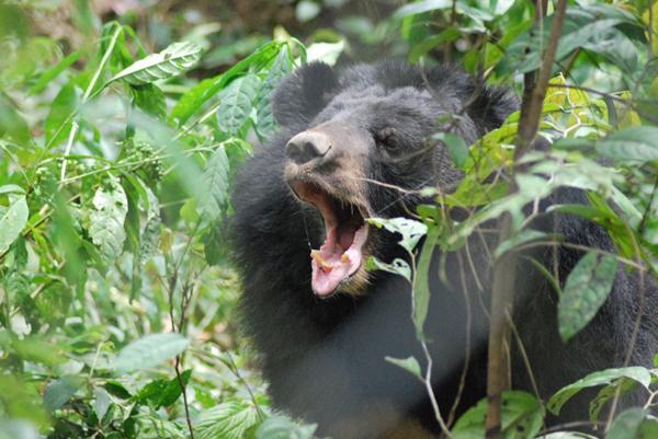 gấu chó - 1 trong những loài đang được bảo tồn tại đây