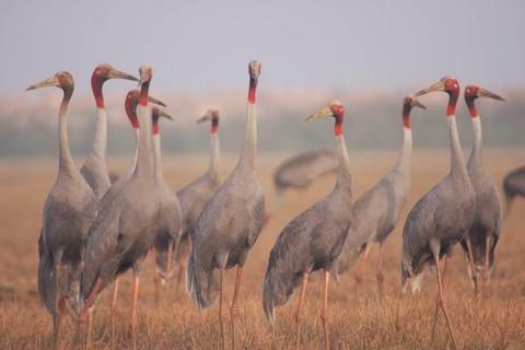 Những năm gần đây, nhờ dự án bảo tồn đa dạng sinh học do WWF và Coca-Cola phối hợp triển khai, số lượng sếu đầu đỏ về cư trú cũng được cải thiện. Cụ thể, từ tháng 1 – 3 năm 2014, đã có 20-30 sếu đầu đỏ thường xuyên về Tràm Chim kiếm ăn và cư ngụ
