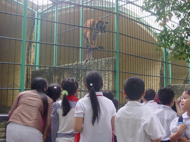 Hổ Đông Dương trông như con mèo to lớn