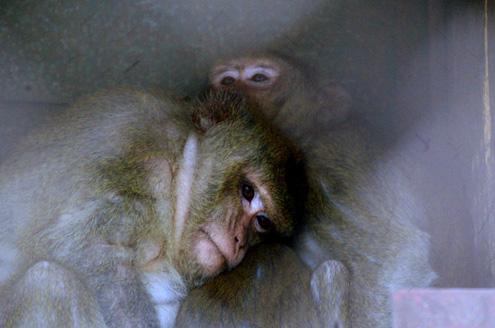 Những chú Khỉ series đáng yêu