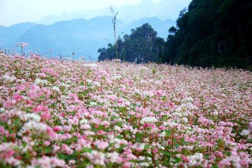 Xín Mần tuyệt đẹp mùa hoa Tam giác mạch