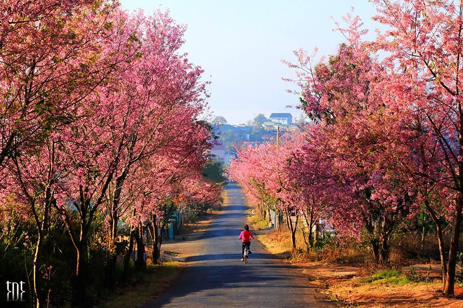 Hoa anh đào Đà Lạt nở rộ khắp Đà Lạt vào mùa xuân