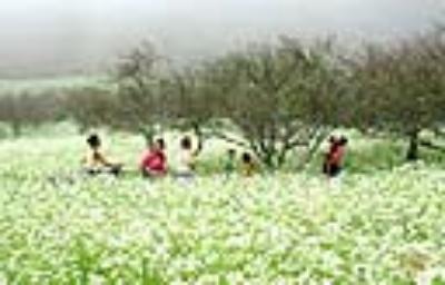Ấn tượng các mùa hoa tại Mộc Châu hấp dẫn khách du lịch