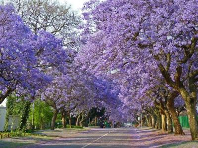 Đẹp mê hồn mùa hoa phượng tím Đà Lạt