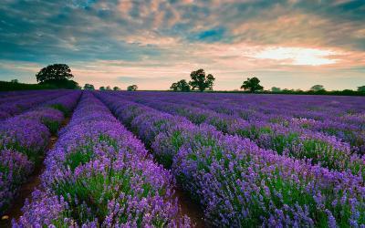 Những cánh đồng hoa đẹp ngây ngất ở Đà Lạt