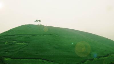 Đến với đồi chè Mộc Sương trên cao nguyên Mộc Châu