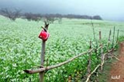 Du lịch Mộc Châu tháng 11 ngắm hoa cải nở trắng đồi