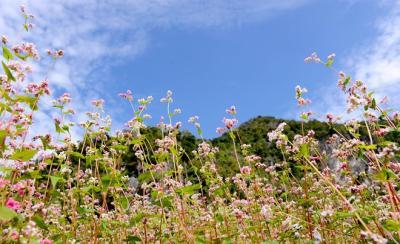 Hà Giang đẹp rực rỡ khi bước vào mùa hoa tam giác mạch