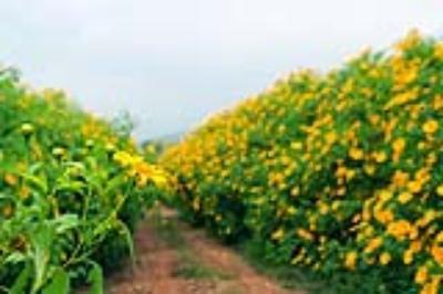 Lạc lối giữa sắc vàng hoa dã quỳ  tháng 10 Đà Lạt