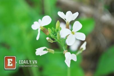 Mộc Châu đẹp lung linh mùa hoa cải trắng