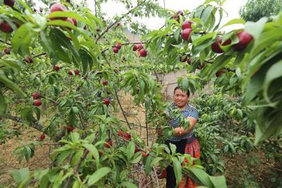 Mùa đào chín đỏ trên cao nguyên Mộc Châu
