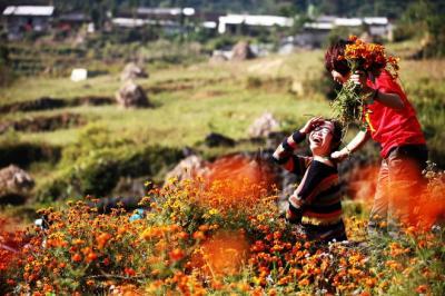 Mùa hoa cúc dại nhuộm vàng cao nguyên đá