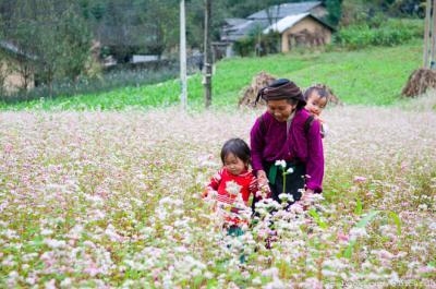 Đồng Văn đẹp mơ màng mùa hoa tam giác mạch
