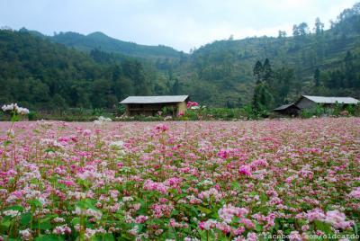 Mùa hoa tam giác mạch đẹp mơ màng trên cao nguyên đá Đồng Văn