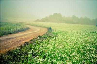 Mường Thanh Mộc Châu – Điểm đến  lý tưởng vào mùa hoa cải trắng ở Mộc Châu