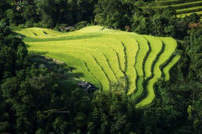 Ngắm vẻ đẹp dát vàng mùa lúa chín ở Hoàng Su Phì