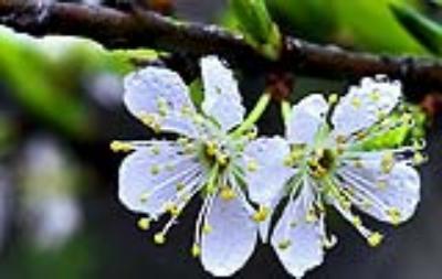 Những mùa hoa trên cao nguyên Mộc Châu