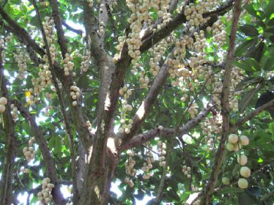 Rực vàng dâu Hạ Châu Phong Điền