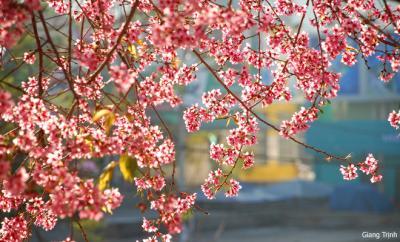 Lang thang Đà Lạt mùa hoa anh đào và phượng tím