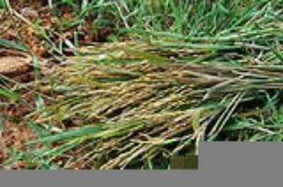 Về Đồng Tháp ăn gạo lúa ma trong mùa nước lớn