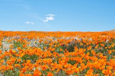 Choáng ngợp thung lũng hoa thuốc phiện khổng lồ ở California
