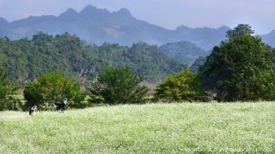 Đẹp mơ màng mùa cải trắng ở Mộc Châu, Sơn La