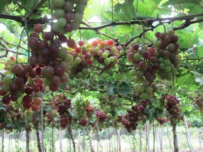 Hè về khám phá vườn nho Ninh Thuận