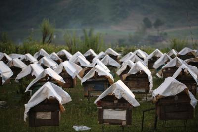 Khám phá trang trại nuôi ong lấy mật ở Mộc Châu