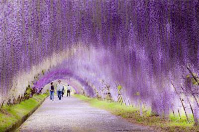 Đẹp mê hồn trong khu đường hầm ngát hương hoa tử đằng ở Nhật Bản